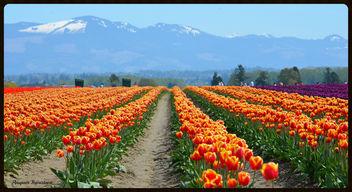 Tulips - Free image #289447
