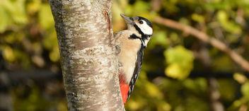 Woodpecker - image gratuit #289887