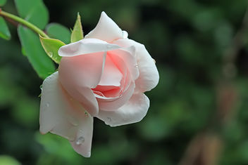 The last rose in the garden - image gratuit #290007