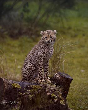 Cheetah Cub posing - Free image #290107