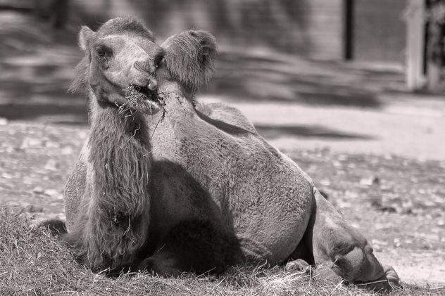 Camel black and white - Free image #290287