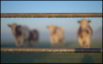 Cow Corner - Free image #290447