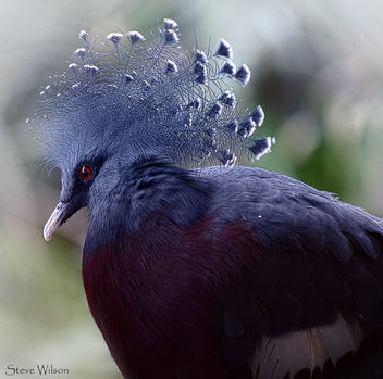 Victoria Crowned Pigeon - Kostenloses image #290547