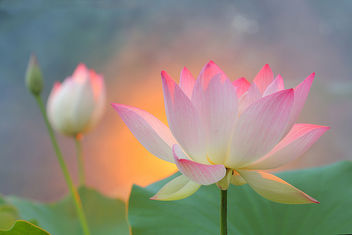 Sunshine Lotus - Free image #290887