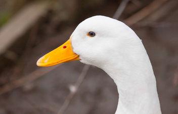 Pekin Duck - image gratuit #290997