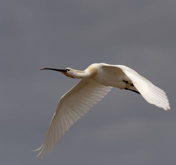 spoonbill flight - image gratuit(e) #291307