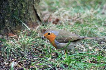 Cute Robin - бесплатный image #291327