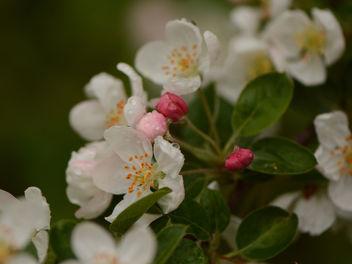 Ah ! Ces fleurs de pommier !... Quelle joie de les revoir ! :) - Kostenloses image #291397