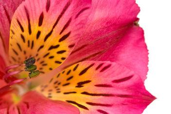 Alstroemeria Macro - HDR - image gratuit #291457