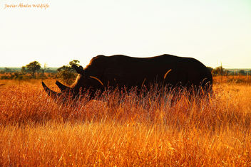 White Rhino Silhoutte in Kruger National Park - бесплатный image #291567