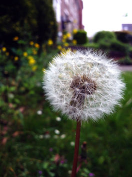 Dandelion - Free image #291737