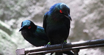 Metallic Starlings - Free image #291977
