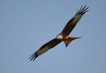 Milan royal Milvus milvus - Red Kite - Free image #292137