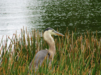 Heron in the Marsh - Free image #292217