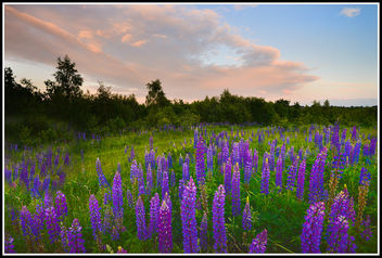 Lupins Sunset - Kostenloses image #292337