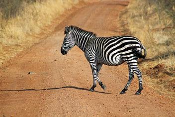 Plains Zebra: Equus quagga - image gratuit #292357
