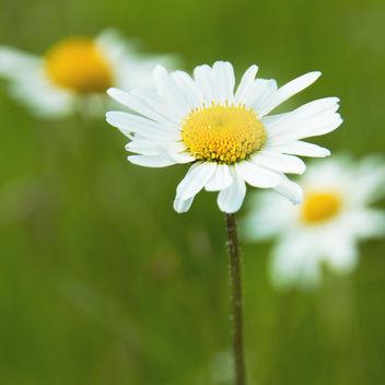 Ox-eye Daisy (Leucanthemum vulgare) #65 Daisy - бесплатный image #292537