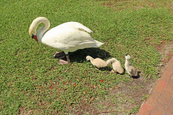 Swan with Cygnets - image #292767 gratis