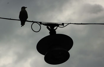 Bird on the Wire - Free image #293127