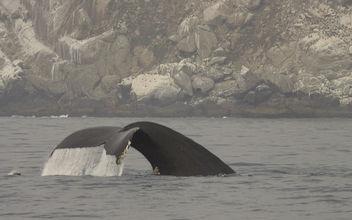 Humpback Whale (Megaptera novaeangliae) - Kostenloses image #293137