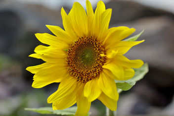 sunflower - image #293767 gratis