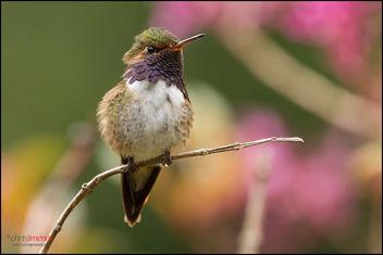 Volcano Hummingbird (Selasphorus flammula) landing - Free image #293977