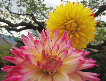 those dahlias keep on giving - image #294157 gratis