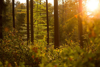 Sunset in the Forest - Free image #294607