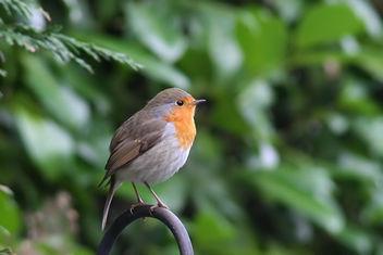 European Robin - Kostenloses image #294877