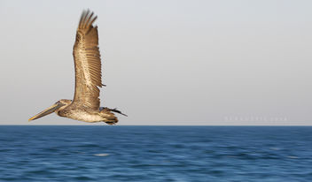 brown pelican, Panama bay. - бесплатный image #295137