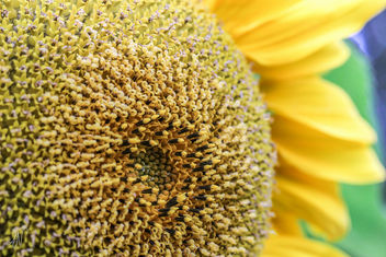 34/365 - Sunflower - image gratuit #295357