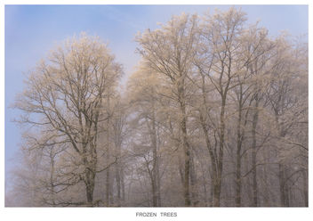 FROZEN TREES - Free image #295687
