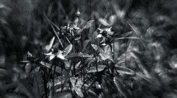 Comarum palustre - monochrome - Free image #295727