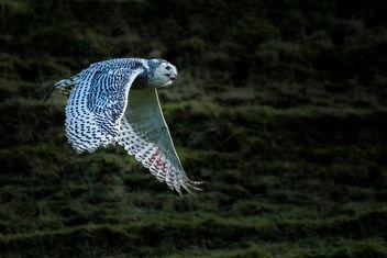 Snowy Owl - Free image #295787