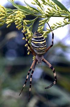 Wasp spider (Argiope bruennichi) - Free image #296177