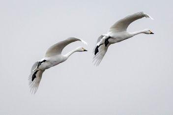 20150207__5D_2704 Whooper Swan.jpg - Free image #296377