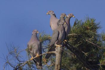 Band-tailed Pigeon (Patagioenas fasciata) - image gratuit(e) #296617