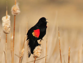Red-Winged Blackbird Seedskadee NWR - image gratuit #296977