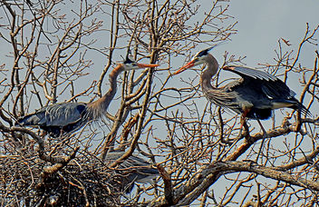 Nesting Great Blue Herons - бесплатный image #296987