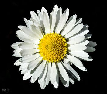 Daisy - Kostenloses image #297087