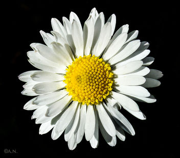 Daisy - image gratuit #297087