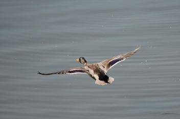 Duck flying over the pond - image #297557 gratis