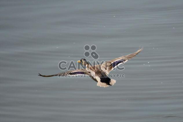 Pato voando sobre o lago - Free image #297557