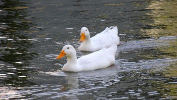 White ducks floating - Free image #297567