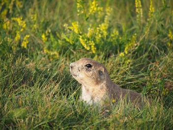 Prairie dog hiding - image gratuit #298337