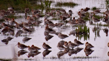 Black-tailed Godwits Leighton Moss - бесплатный image #298477