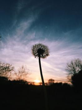 Dandelion - Free image #298697
