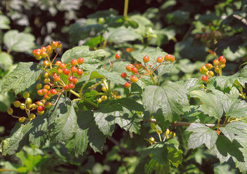 Turkey (Istanbul arboretum)- Berries - Free image #299497