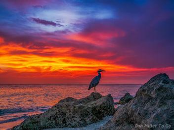 Yellow-crowned Night Heron at Sunset - image #299507 gratis