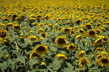 Sad Sunflowers - Free image #299637